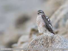 Eurasian Sparrowhawk (Accipiter nisus) (gilgit2) Tags: avifauna birds canon canoneos7dmarkii category eurasiansparrowhawkaccipiternisus fauna feathers geotagged gilgitbaltistan gojal imranshah location nature ornithology pakistan shiskat species tags tamron tamronsp150600mmf563divcusd wildlife wings gilgit2