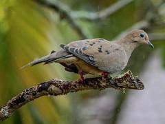 Rainy Day Dove Pt.2 (ACEZandEIGHTZ) Tags: dove bird nature avian backyard birdwatcher feathers wings winged macro bokeh tree branch nikond3200 closeup mourningdove zenaidamacroura
