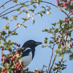 Magpie in natures picture frame