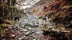 Pass of the Collie (JJFET) Tags: littledoglaughedstories border collie dog sheepdog herding