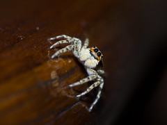 Hola! Tengo (casi) todos mis ojos puestos en tí. (Andres Bertens) Tags: 1456 olympusem10markii olympusomdem10markii olympusm60mmf28macro olympusmzuikodigitaled60mmf28macro rawtherapee spider salticidae arañasaltarina