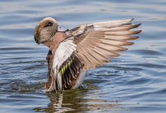 Drying his wings (tresed47) Tags: 2019 201912dec 20191212eastmaylandbirds birds cambridge canon7dmkii content december ducks fall folder maryland peterscamera petersphotos places season takenby us wigeon
