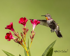 Anna's Hummingbird_T3W5929 (Alfred J. Lockwood Photography) Tags: alfredjlockwood nature annashummingbird birdsinflight bird sedona arizona morning