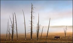 Yellowstone (jeanny mueller) Tags: usa southwest landscape rockymountains wyoming yellowstone nationalpark bison tree morning fog sunrise montana