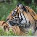 Profile portrait of the Sumatran tigress