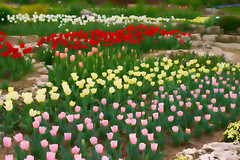 A pattering of tulips (Pejasar) Tags: impressionistic paintcreations spattering impressionist artistic art painterly spatteringpaintcreations spring flowers blossoms blooms tulips garden