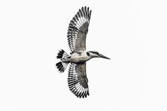 In full colour... (chandra.nitin) Tags: animal bif bird flying highkey nature outdoor piedkingfisher wildlife newdelhi delhi india