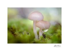 Every moment matters (g.femenias) Tags: mushrooms fungi moss water waterdrop bokeh nature naturallight sunlight macro macrophotography couple bonany petra mallorca