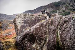On High (JJFET) Tags: border collie dog sheepdog herding