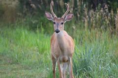 A Buck (Randall R) Tags: deer buck mammal d7500 nature field nebraska nikon