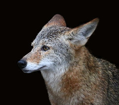Portrait of a coyote (Robin Wechsler) Tags: animal wildanimal wildlife portrait coyote