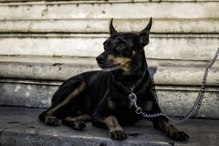 Dóberman (Egg2704) Tags: perro perros can cánido dóberman dóbermann dog dogs sicilia eloygonzalo egg2704 mascota mascotas pet pets animal animales naturaleza