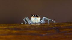 Hola! Tengo casi todos mis ojos puestos en tí. (Andres Bertens) Tags: 1444 olympusem10markii olympusomdem10markii olympusm60mmf28macro olympusmzuikodigitaled60mmf28macro rawtherapee spider salticidae arañasaltarina
