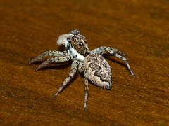 Araña saltarina (Menemerus semilimbatus). (Andres Bertens) Tags: 1443 olympusem10markii olympusomdem10markii olympusm60mmf28macro olympusmzuikodigitaled60mmf28macro rawtherapee spider salticidae arañasaltarina