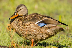 Come a little bit closer (ChicagoBob46) Tags: mallard hen yellowstone yellowstonenationalpark duck nature wildlife ngc coth5 naturethroughthelens npc