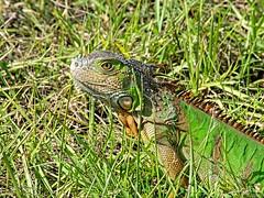 🇺🇸 Camaflouge iguana KW 0154 (vickyoutenphoto) Tags: vickyouten iguana wildlife nature nikon nikond7200 nikkor55300mm keywest florida usa