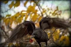 SANTA CROW (1crzqbn) Tags: sliderssunday bokeh christmas crow bird red 1crzqbn textures inmygarden