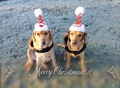 """Merry Christmas"""" from Sunny and Sky..x (Lisa@Lethen) Tags: merrychristmas dogs headbands frost frosty garden pet labrador"""