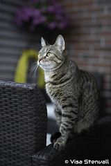 Viiru (VisaStenvall) Tags: canon eos 6d 24105mm f4l is usm espoo suomi finland house cat part bengal outdoors hunting summer