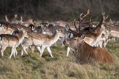 Meeting of the clans (Maria-H) Tags: fallow deer reddeer damadama cervuselaphus stag tattonpark cheshire uk olympus omdem1markii panasonic 100400