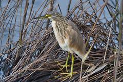 Squacco Heron - Papa-ratos (anpena) Tags: birds birdphotography herons squaccoheron