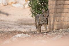 Coyote outside back wall (Kukui Photography) Tags: sabino vista hills wildlife topaz labs backyard arizona sharpen ai stabilize coyote tucson sabinovistahills sharpenai topazlabs flickrsbest