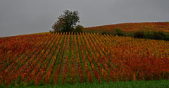 Vignes champenoises à l'automne (Glc PHOTOs) Tags: 20191030145348glc4287nikond85070mmdxo tamron sp 2470mm f28 di vc usd g2 tamronsp2470mmf28divcusdg2 a032 nikon d850 fx full frame 45mpixel glcphotos