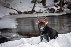 The littlest reindeer 51/52 (Boered) Tags: dog reindeer antlers christmas stream snow ice chico 52weeksfordogs