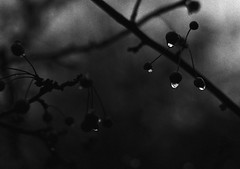 More drops (fromfarbeyond) Tags: pentax mx rain drops film analog ilford hp5 dark photography melancholic autumn berries