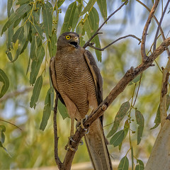 40.5°C, alice river - brown goshawk (Fat Burns ☮) Tags: browngoshawk accipiterfasciatus hawk raptor bird australianbird fauna australianfauna nature nikond500 nikon200500mmf56eedvr barcaldine aliceriver queensland australia outback outdoors lagooncreekbarcaldine qld