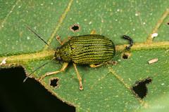 Leaf Beetle (Colaspis sp.) (jgruber111) Tags: colaspis eumolpinae chrysomelidae coleoptera insect macro entomology leafbeetle beetle ecolodgeitororó