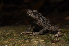 Phrynoidis juxtasper (Giant River Toad) (Tom Frisby) Tags: toad amphibian wildlife fauna borneo herpetology