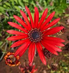 Flor. (In Dulce Jubilo) Tags: bokeh fotografía flor flores colors colores red rojo naturaleza nature photography margarita andalucia andalusia espagne españa spanien spain