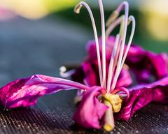 Orchid Tree Blossom (risaclics) Tags: bloom blossom magenta orchid tree flower pistils stamen 60mmmacro closeup december2019 green nikond610d floweringtrees pink orchidtreeflower