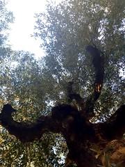 Oliver the Chimp ! 🙊🙉🙈 #photography #garden #nature #olivetree (asma.brahim@rocketmail.com) Tags: olivetree nature garden photography