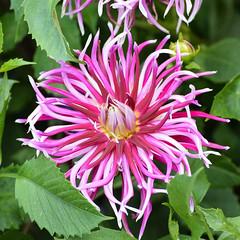 Dahlia #1 (MJ Harbey) Tags: flower dahlia pinkdahlia eudicot asreraceae helianthodae canonsashby nationaltrust northamptonshire nikon d3300 nikond3300
