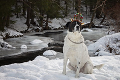 12/12 Boomer-deer (Boered) Tags: dog reindeer antlers christmas stream snow ice boomer 12monthsfordogs19