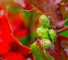 Solstice (L@nce (ランス)) Tags: buds bud plant macro micro green red bokeh victoria britishcolumbia