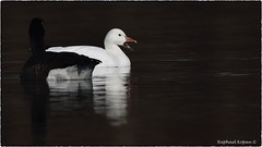 Snow Goose complaining (RKop) Tags: fernaldpreserve ohio raphaelkopanphotography nikon birds nature d500 600mmf4evr 14xtciii