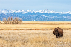 December 22, 2019 - Bison cow and the Rocky Mountains. (Tony's Takes)