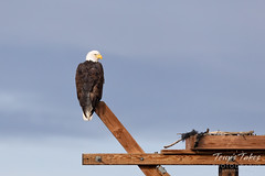 December 21, 2019 - Bald eagle hanging out. (Tony's Takes)