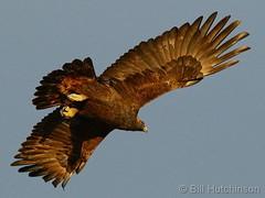 December 21, 2019 - Golden eagle takes flight. (Bill Hutchinson)