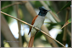 9466 - Indian flycatcher (chandrasekaran a 64 lakhs views Thanks to all.) Tags: indianflycatcher flycatcher birds nature india chennai canoneos80d tamronsp150600mmg2