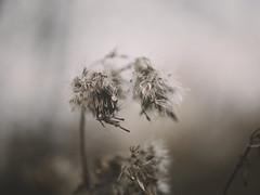Soft (J.C. Moyer) Tags: zacht holland thenetherlands volendam edam flora rustiek rustic lumix025 lumix025mm lumixgx80 hh025 dmcgx80 lumix panasonic kleur color colour zaden seeds natuurfotografie naturephotography nature natuur soft