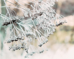 Winter Queen Anne's Lace (Beverly LC) Tags: 1855mm 2019 xt1 park river winter