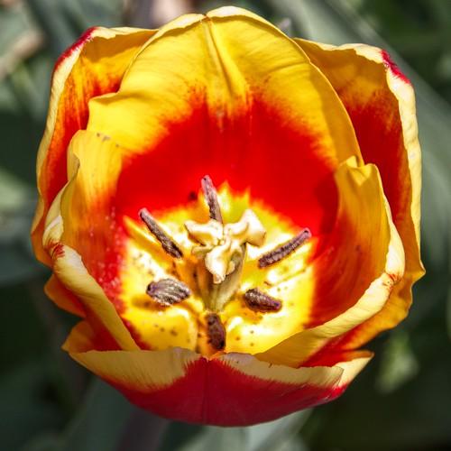 Toronto Ontario ~ Canada ~ Edwards Gardens ~ Botanical Garden - Macro Tiger Tulip