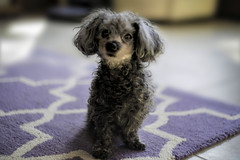 Cody (Marie Brown Cottage Garden) Tags: miniature poodle dog helios vintagelens