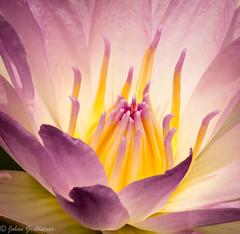 Pink Leone-5 (Johan Grobbelaar) Tags: waterlily