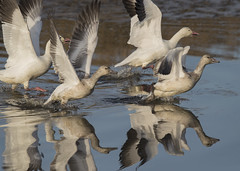 Snow Geese (Mawrter) Tags: takeoff action motion timetogo snowgeese geese wings takingoff forsythenwr bird birds avian reflection canon specanimal