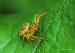 Coming to check me out (noel upfield) Tags: brucetrail spider leaf arachnid georgetown ontario ©noelaupfieldpixlbypixlphotography